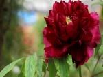 Una hermosa y delicada peonía color granate