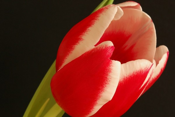 Maravilloso tulipán en fondo negro
