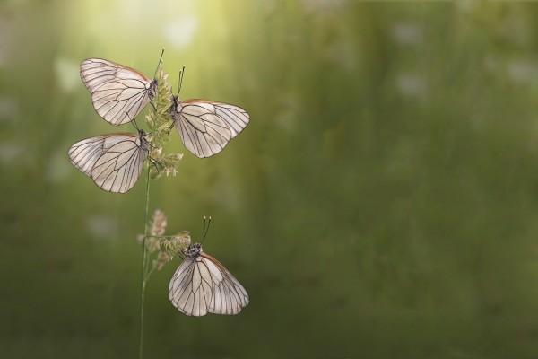 Varias mariposas en una rama