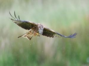 Un águila volando bajo la lluvia