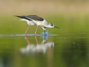 Postal: Dos aves de pico fino en el agua