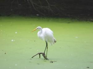 Garza sobre el agua verde