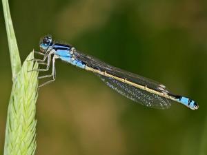 Una libélula agarrada a una espiga verde