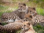 Grupo de guepardos tumbados en la hierba