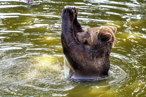 Un fantástico oso pardo divirtiéndose en el agua