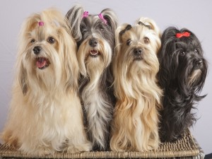Postal: Cuatro perritas muy bien peinadas