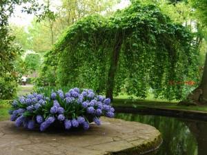 Delicados jacintos embellecen el jardín