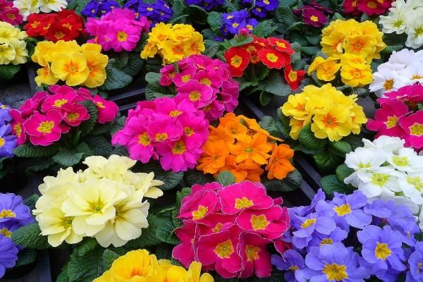 Espectaculares y coloridas prímulas