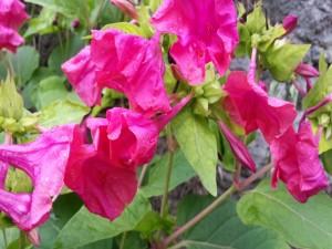 Flores de color rosa en la planta