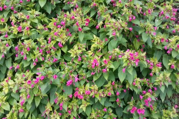 Una gran planta con hojas verdes y flores rosas