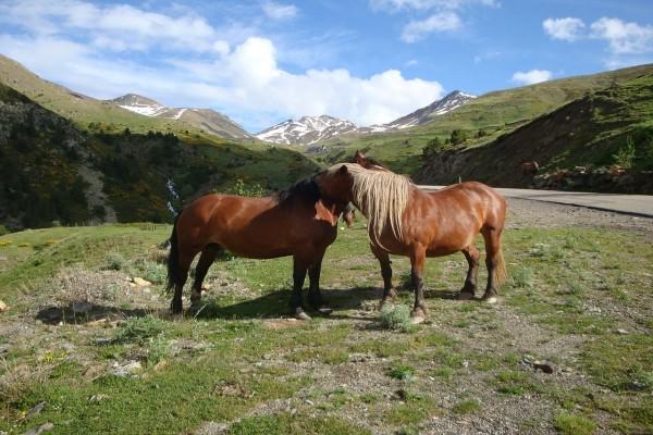 Caballos sueltos en el Valle de Bohí (Lérida, España)