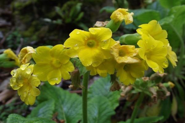 Bellas prímulas de color amarillo