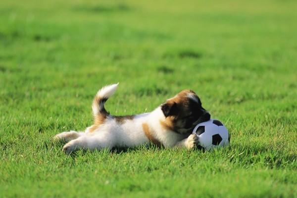 Perrito jugando con una pelota de fútbol