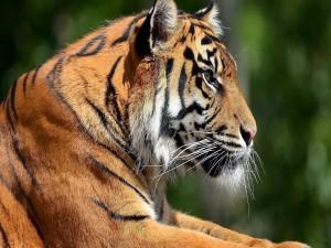 Postal: Un precioso tigre de Bengala