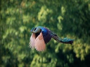 Postal: Un pavo real en el aire desplegando sus alas