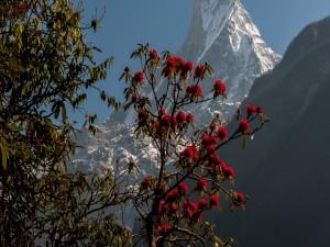 Árbol con flores rojas delante de la gran montaña
