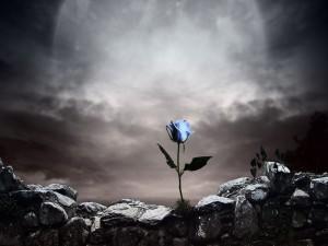 Rosa azul creciendo en el muro