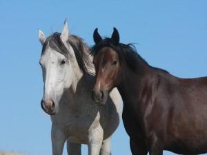 Dos robustos caballos
