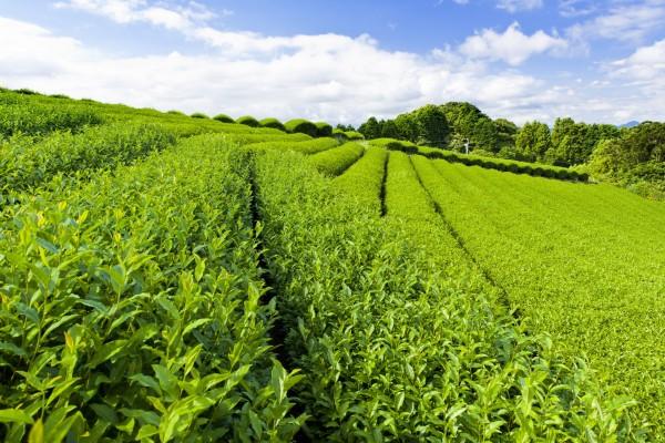 Un gran campo con plantas de té