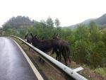 Burros junto a una carretera