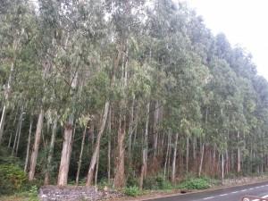 Bosque de eucaliptos al borde de la carretera