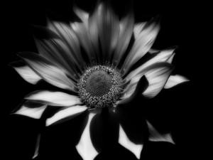 Girasol en blanco y negro