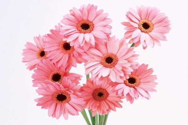 Bonito ramo de gerberas de color rosa