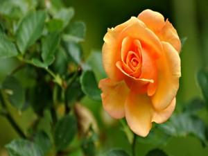 Rosal con una bella rosa amarilla