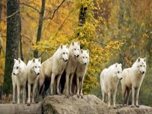 Manada de lobos en el bosque
