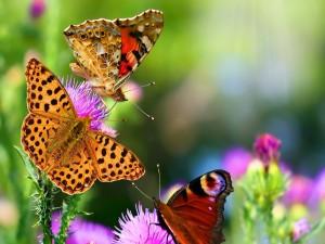 Postal: Tres mariposas sobre las flores