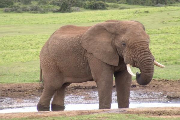 Gran elefante en una charca