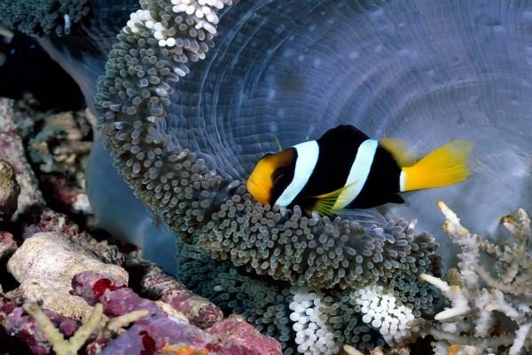 Un pez payaso de color oscuro