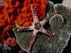 Una bonita estrella de mar
