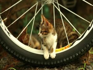 Postal: Un gatito en una rueda de bicicleta