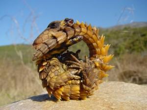 Moloch o diablo espinoso (Moloch horridus)