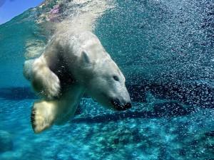 Un oso polar nadando en frías aguas