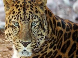 La intensa mirada de un leopardo