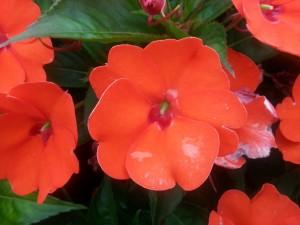 Postal: Pequeñas flores de color rojo anaranjado