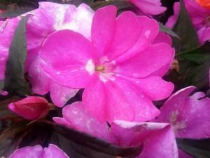 Florecillas fucsia en la planta