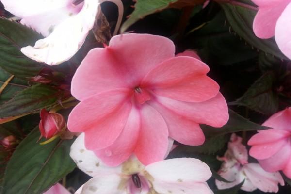 Una hermosa flor rosa en la planta