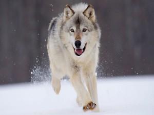 Un lobo corriendo por la nieve