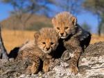 Dos cachorros de guepardo