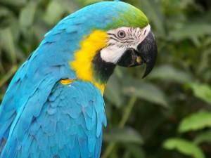 Un loro azul y amarillo