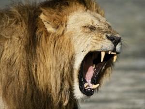 Postal: Gran boca de un león