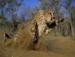 Un guepardo atacando