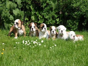 Simpáticos cachorros de bulldog inglés