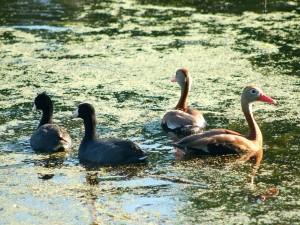 Patos silbadores en una charca