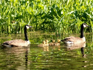 Gansos canadienses con sus polluelos