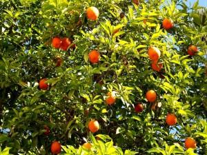 Postal: Naranjas madurando en el árbol