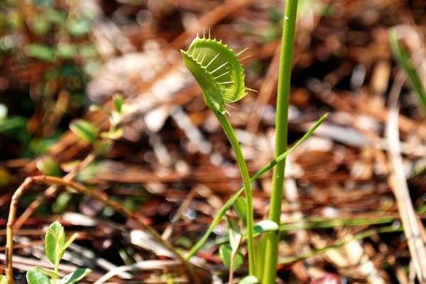 Una interesante planta carnívora